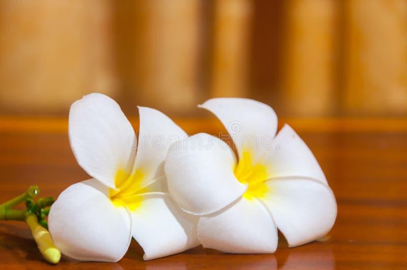 Białe Plumeria Pudica flory obraz stock