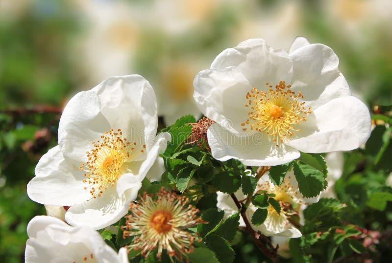 Białe psie róże w ogródzie fotografia stock
