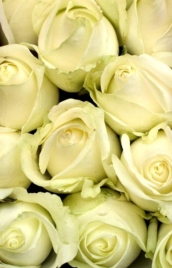 Download Białe róże zdjęcie stock. Obraz złożonej z płatek, romans - 27018
