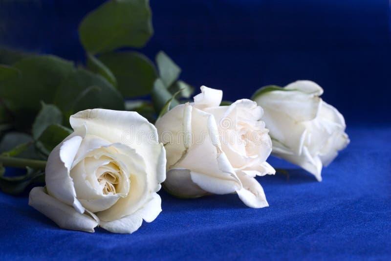 białe róże niebieskie zdjęcie royalty free