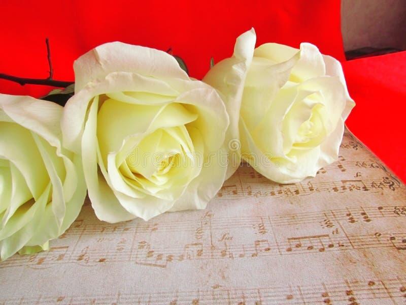 Białe róże w czerwieni zdjęcia stock