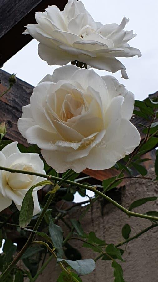 Białe róże ze ścianą fotografia royalty free