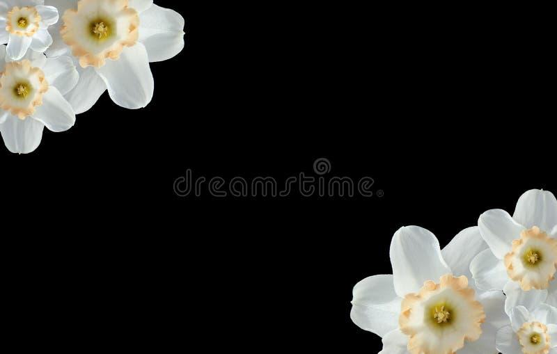 Białe Tulipanowe wiązki z biel przestrzenią obraz royalty free
