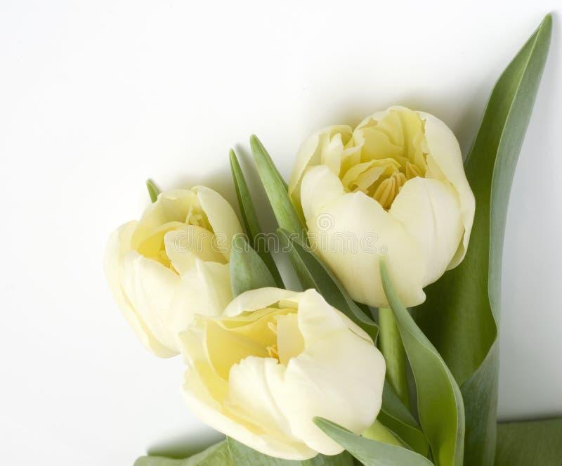 białe tulipany odizolowanych bukietów obraz royalty free