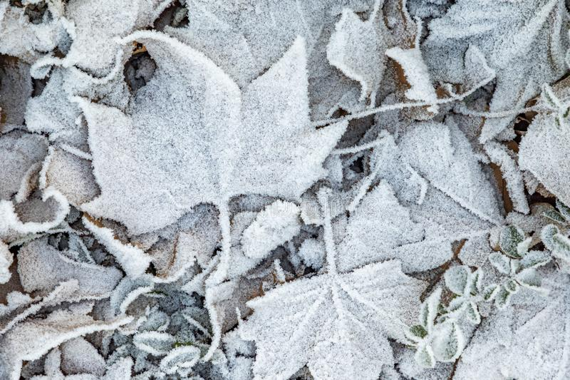 Białe zamrożone liście zimą na ziemi zdjęcie stock