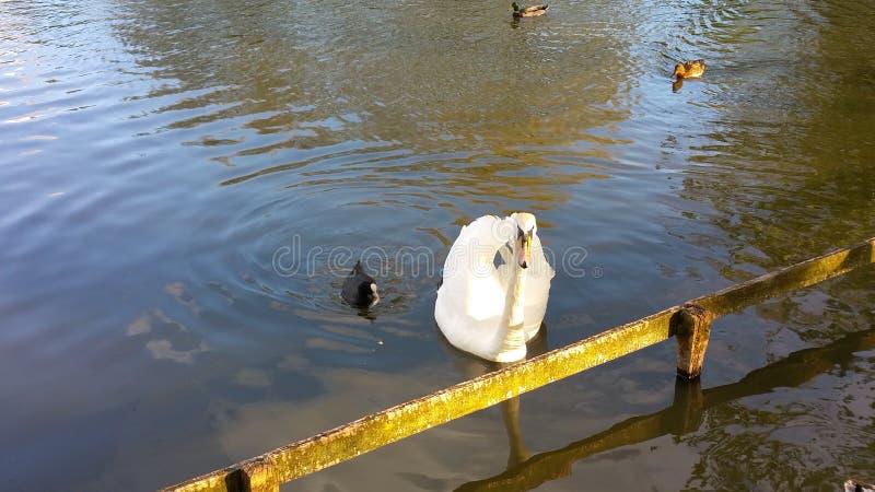 Białego łabędź i czarnej kaczki dopłynięcie fotografia stock