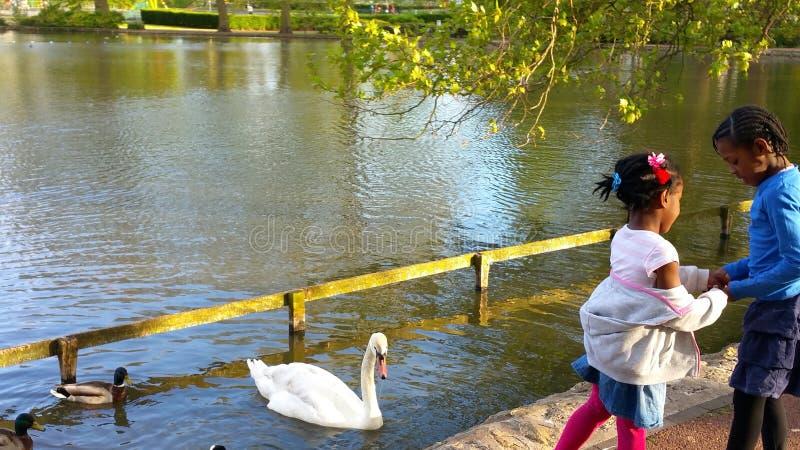 Białego łabędź i czarnej kaczki dopłynięcie zdjęcia royalty free