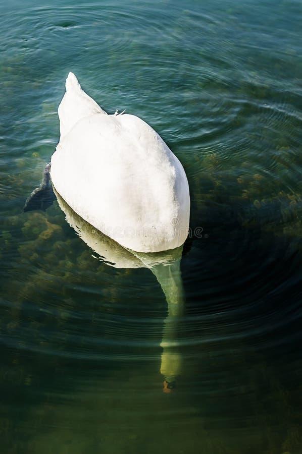 Białego łabędź Podwodny poszukiwanie obrazy stock