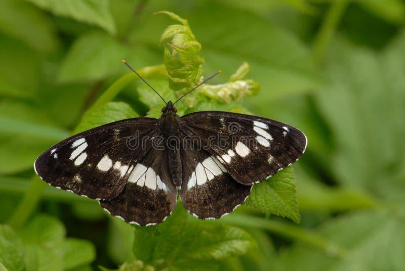 Białego Admiral motyl zdjęcie royalty free