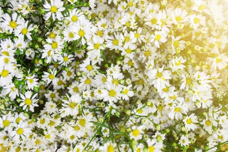 Białego asteru kwiatu miękki światło out drzwi z bliska zdjęcie stock