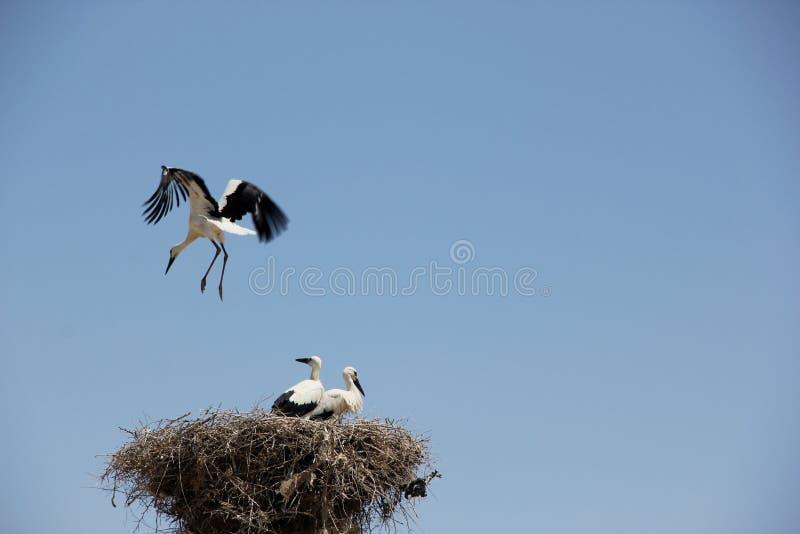Białego bociana gniazdeczko zdjęcia stock