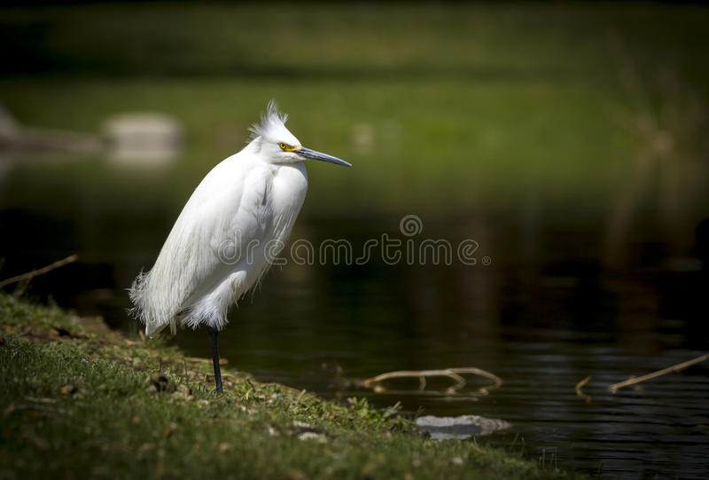 Białego Egret Ptasia pozycja na jeden nodze ma złego włosianego dzień obrazy stock