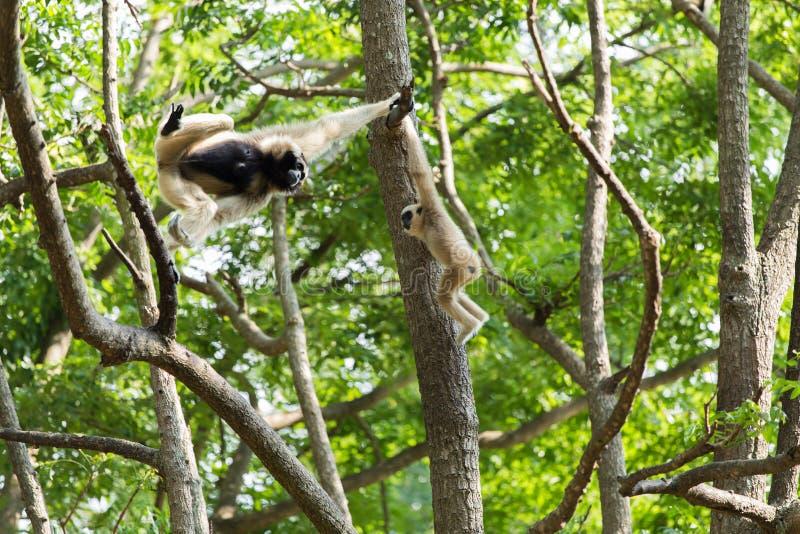 Białego gibonu śliczna małpa fotografia royalty free