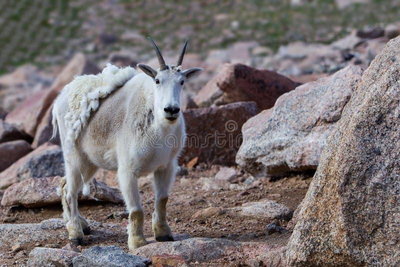 Białego halnej kózki Oreamnos tracenia zimy americanus żakiet fotografia stock