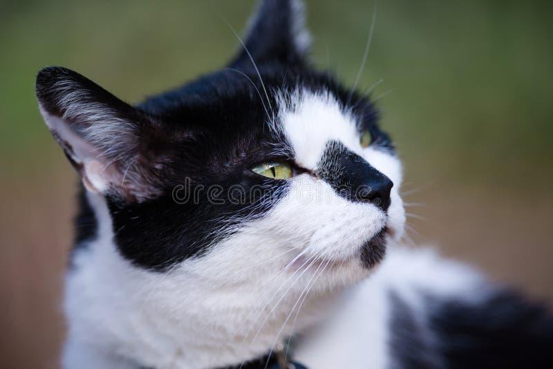 Białego I Czarnego kota obwąchania powietrze fotografia royalty free