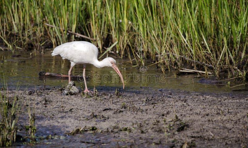 Białego ibisa brodzący ptak foraging, Pickney wyspy Krajowy rezerwat dzikiej przyrody, usa zdjęcia royalty free