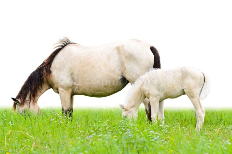 Białego konia źrebię w trawie i klacz fotografia stock