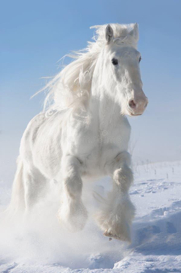 Białego konia bieg galopują w zimie fotografia royalty free