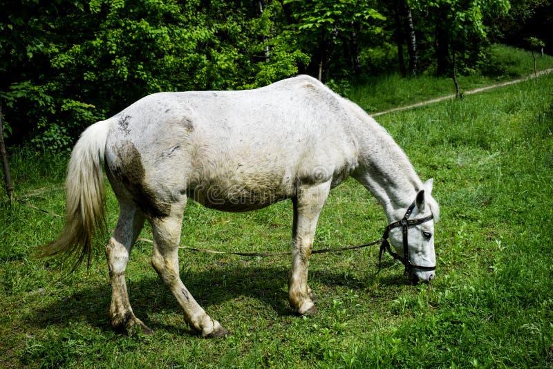 Białego konia pasanie na zielonej łące w letnim dniu zdjęcie stock