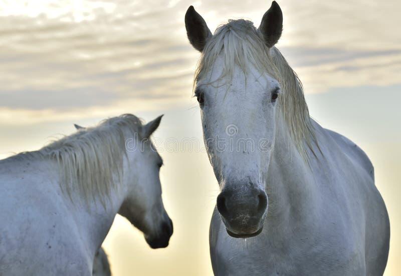 Białego konia portret na zmierzchu nieba tle z bliska obrazy royalty free