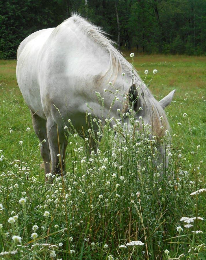Białego konia portret w zielonej trawie i kwiatach zdjęcia royalty free