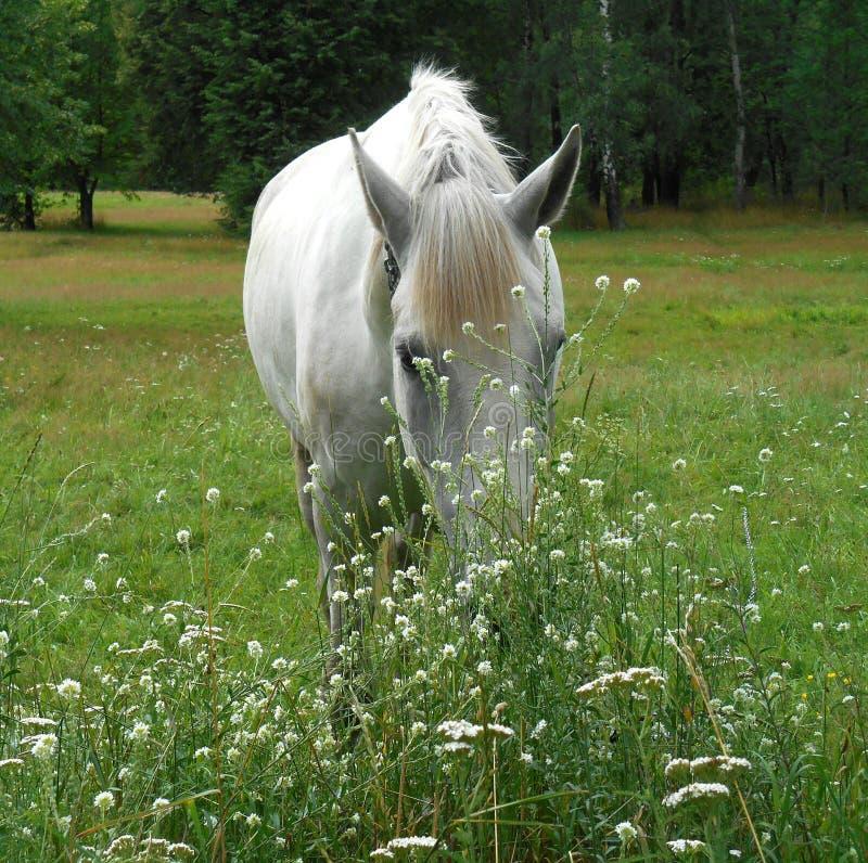 Białego konia portret w zielonej trawie i kwiatach zdjęcie stock