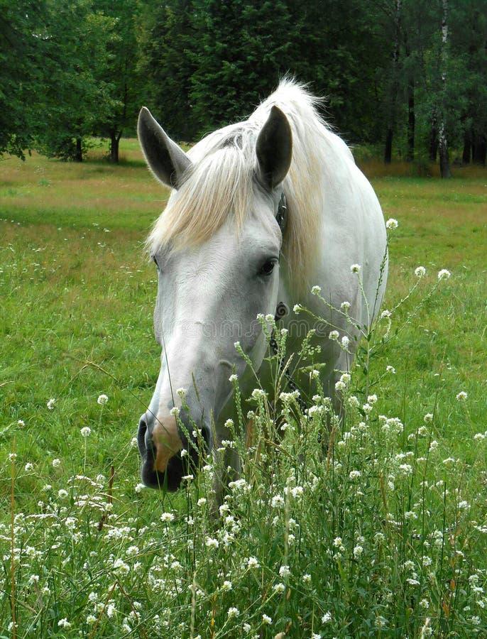 Białego konia portret w zielonej trawie i kwiatach fotografia stock