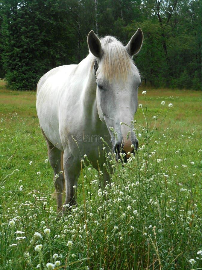 Białego konia portret w zielonej trawie i kwiatach obrazy royalty free