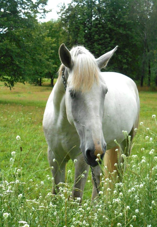 Białego konia portret w zielonej trawie i kwiatach obraz stock