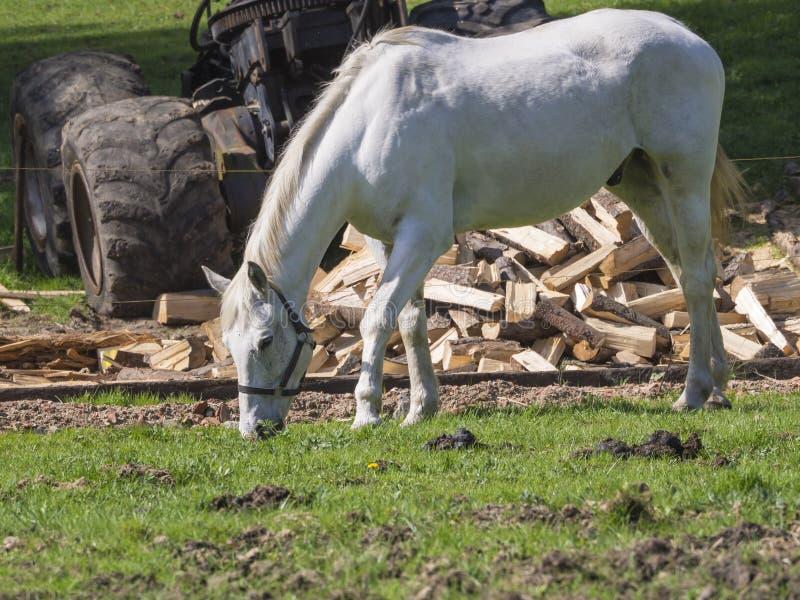Białego konia stalion pasanie na zielonej trawie, siekającym drewnie i Rus, zdjęcie stock
