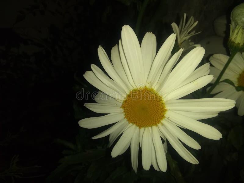 Białego kwiatu żółty guzik zamknięty w górę obraz stock
