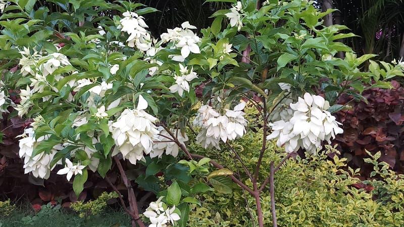 Białego kwiatu drzewa zdjęcie stock