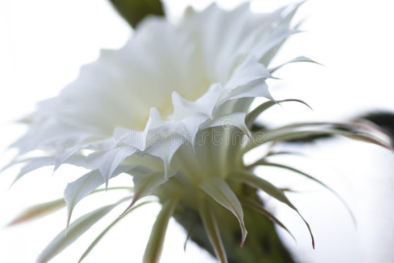 Białego kwiatu kaktus kwitnie, odizolowywał, zakończenie, unikalny, roślina, botanika, ziarna fotografia stock