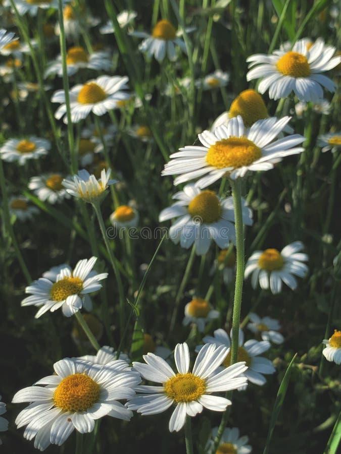 Białego kwiatu koloru żółtego centrum łąka fotografia stock