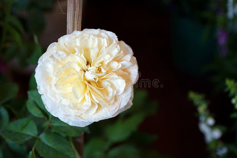 Białego kwiatu kwiat z ciemnym tłem zdjęcia royalty free