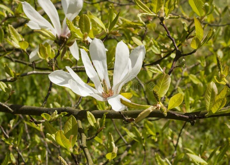 Białego kwiatu magnolii Kobus zdjęcia royalty free