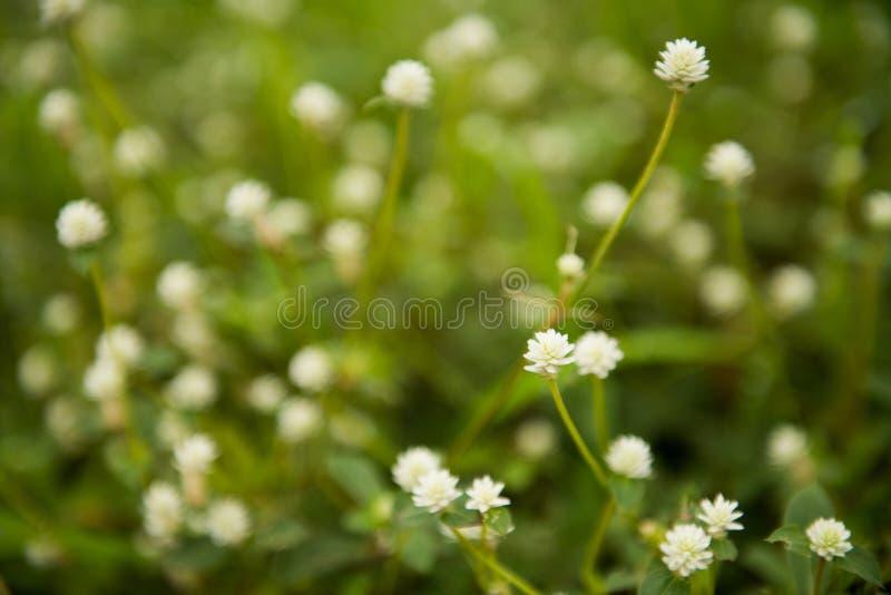 Białego kwiatu mimoz pudica fotografia stock
