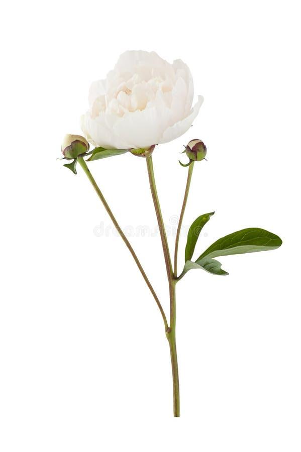 Białego kwiatu peonia obraz stock