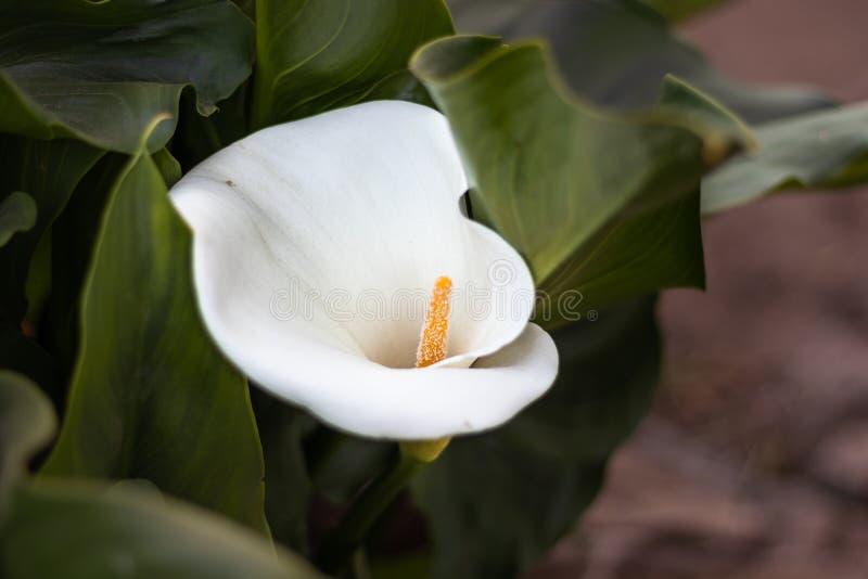 Białego kwiatu pojedynczy odosobniony z szczegół teksturą fotografia stock