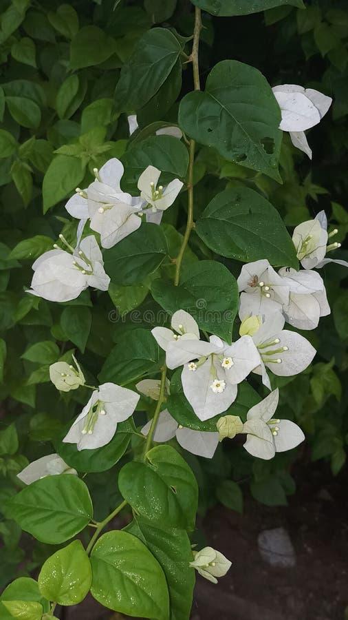 Białego kwiatu zieleni liść zdjęcia stock