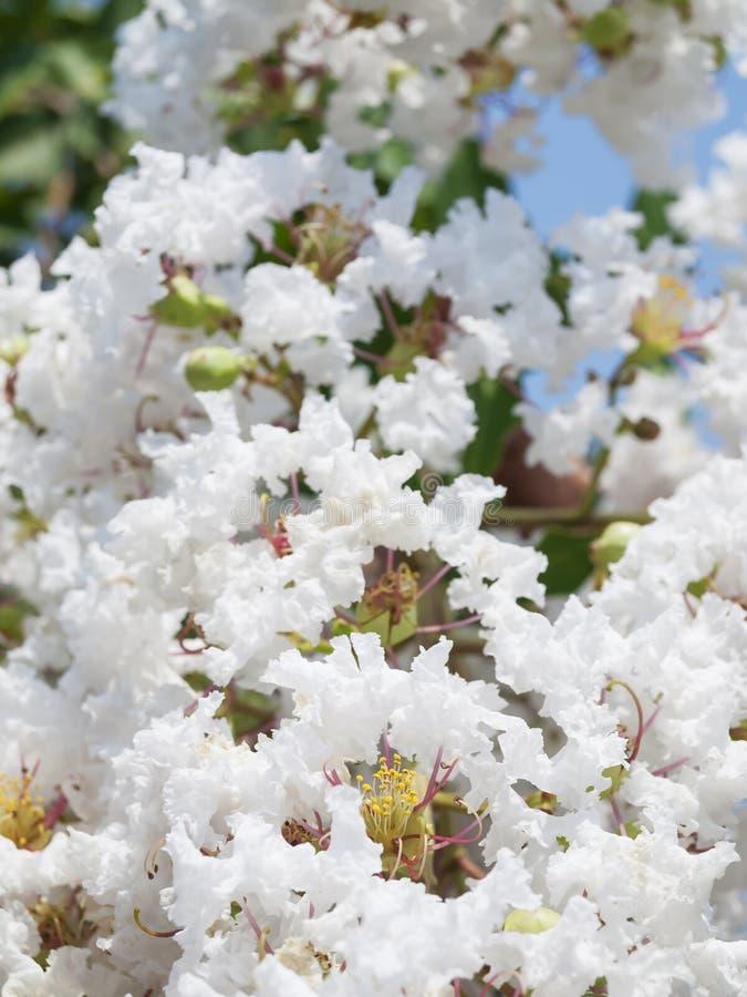 Białego Lagerstroemia indica kwiat zdjęcia stock
