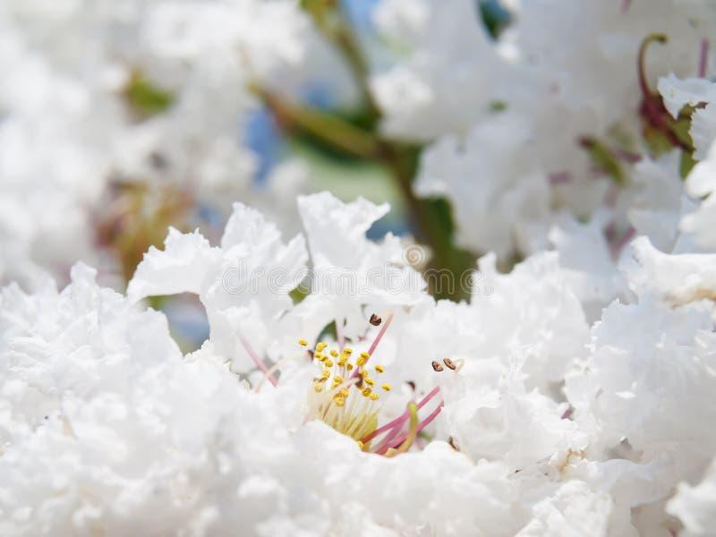 Białego Lagerstroemia indica kwiat zdjęcie royalty free