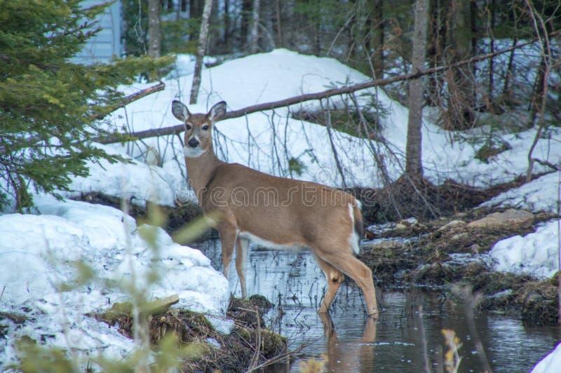 Białego ogonu jelenia pozycja w wodzie w cedrowych drzewach w zima śniegu zdjęcia stock