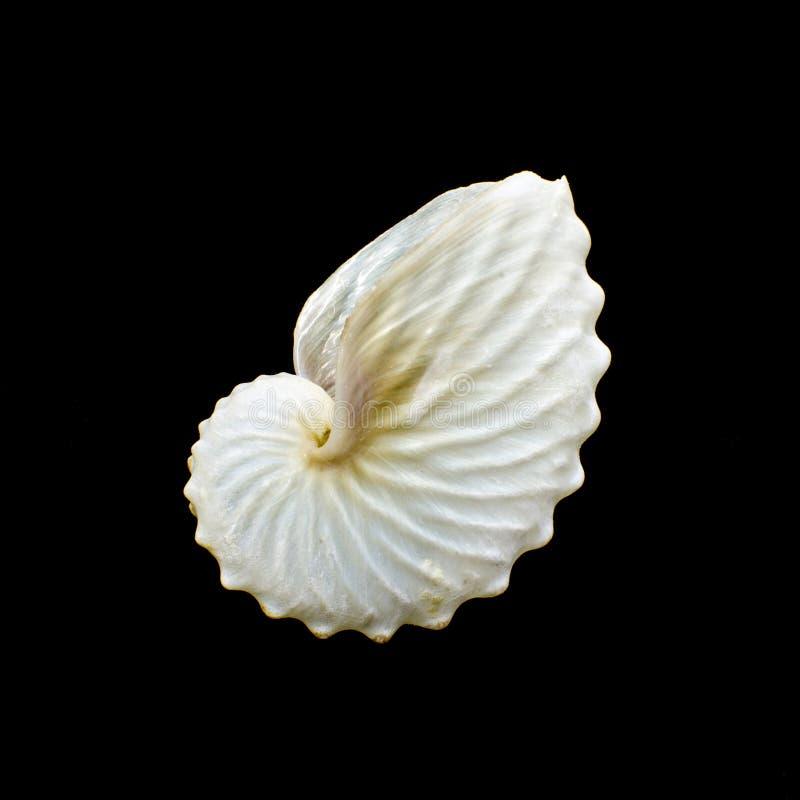 Białego Papierowego łodzika lub argonauta seashell obrazy royalty free