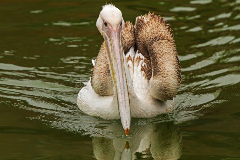 Białego pelikana zbliżać się fotografia stock