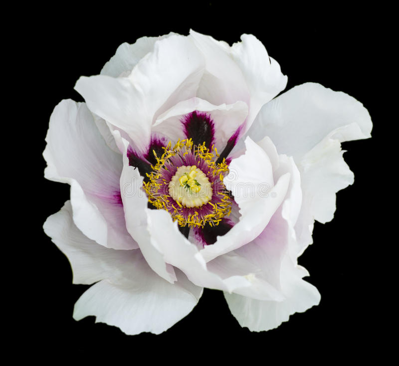 Białego peonia kwiatu makro- fotografia obraz royalty free
