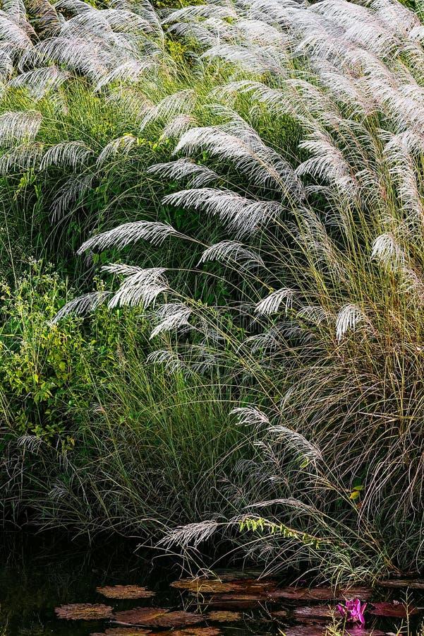 BIAŁEGO piórka pampasów trawy pióropusze RELAKSUJE STAWOWĄ TOBAGO naturę zdjęcie royalty free