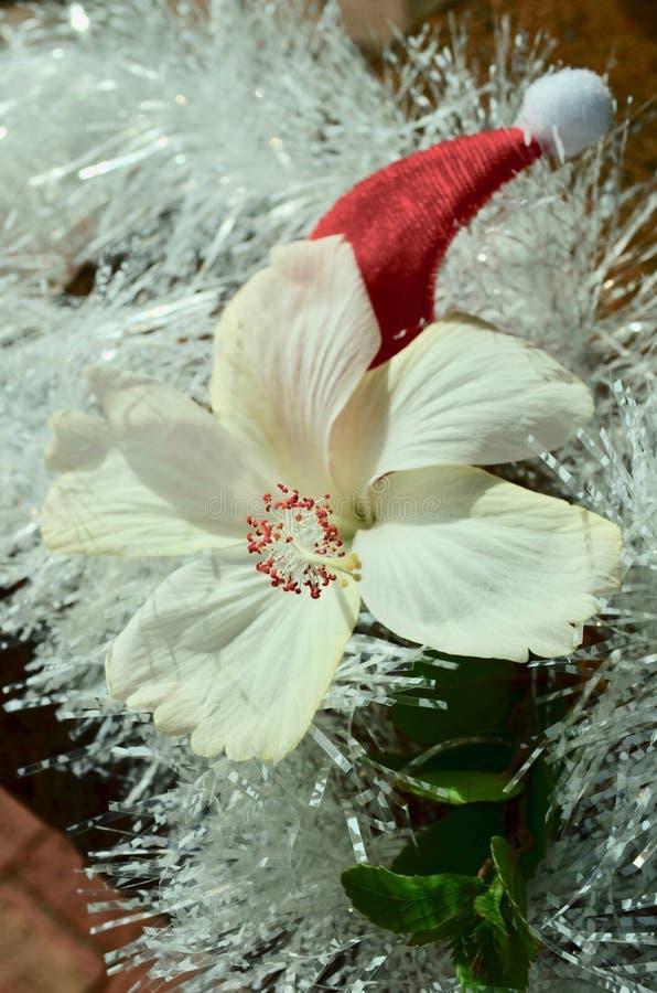 Białego poślubnika kwiatu Santa świecidełka czerwoni Bożenarodzeniowi kapeluszowi biali boże narodzenia w Lipu zdjęcia stock
