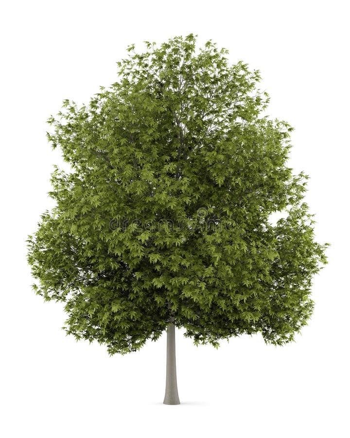 Białego popiółu drzewo odizolowywający na bielu ilustracji