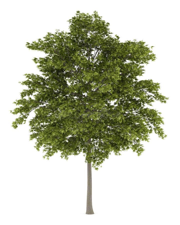 Białego popiółu drzewo odizolowywający na bielu royalty ilustracja